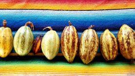 Cacao Nayarit 1